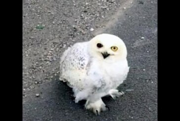 Starving snowy owl fighting for life on side of freeway