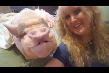 Smiling pig changes little girl's life