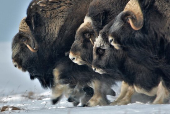 In the Arctic, More Rain May Mean Fewer Musk Oxen