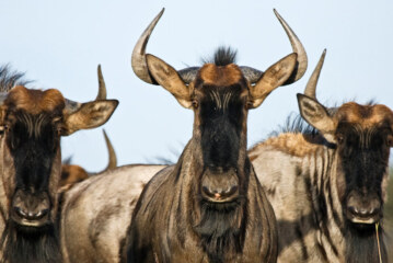 The Wildebeest Is One Highly Toned Machine