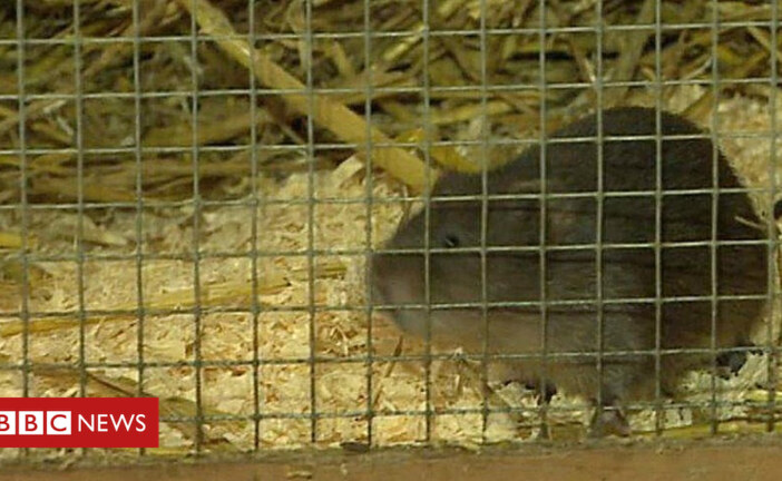Brecon project gives water vole a fighting chance