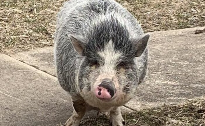 Potbellied Pig Running Loose Lured Home With Pack Of Oreos