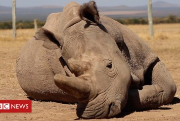 Northern white rhinos: could science save the sub-species?