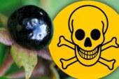 Belladonna WARNING: Common British berry will KILL children in FOUR bites
