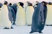 'Rarest Penguin On Earth' Caught On Camera In Antarctica