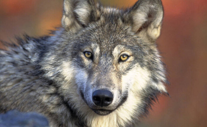 Trump Administration Seeks To Take Gray Wolf Off Endangered Species List : NPR